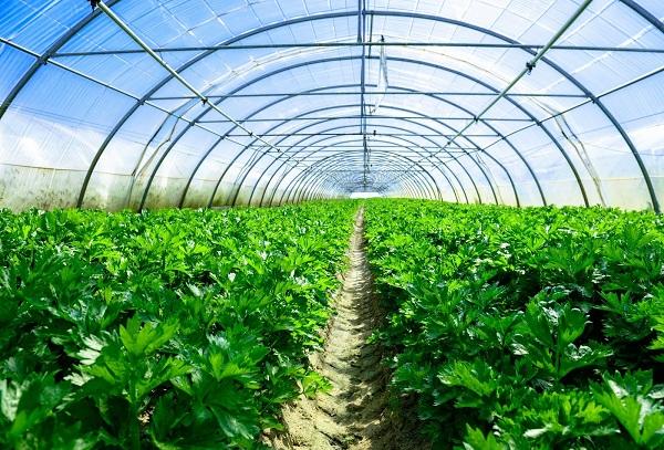 trang trại rau thủy canh