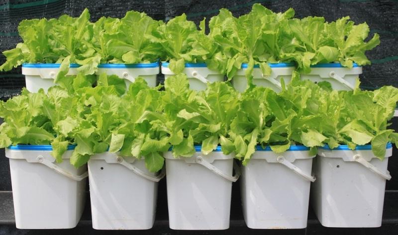 dung dịch dinh dưỡng thủy canh cho rau ăn lá