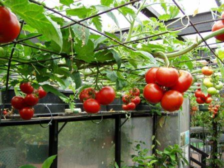 cách trồng cà chua thủy canh