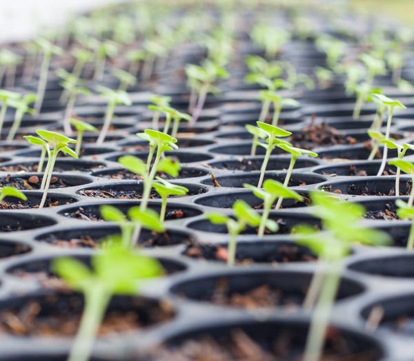 trồng rau sạch thủy canh tại nhà