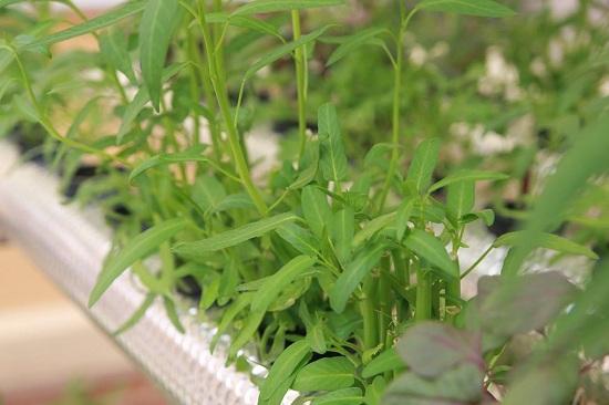 hệ thống trồng rau thủy canh hồi lưu