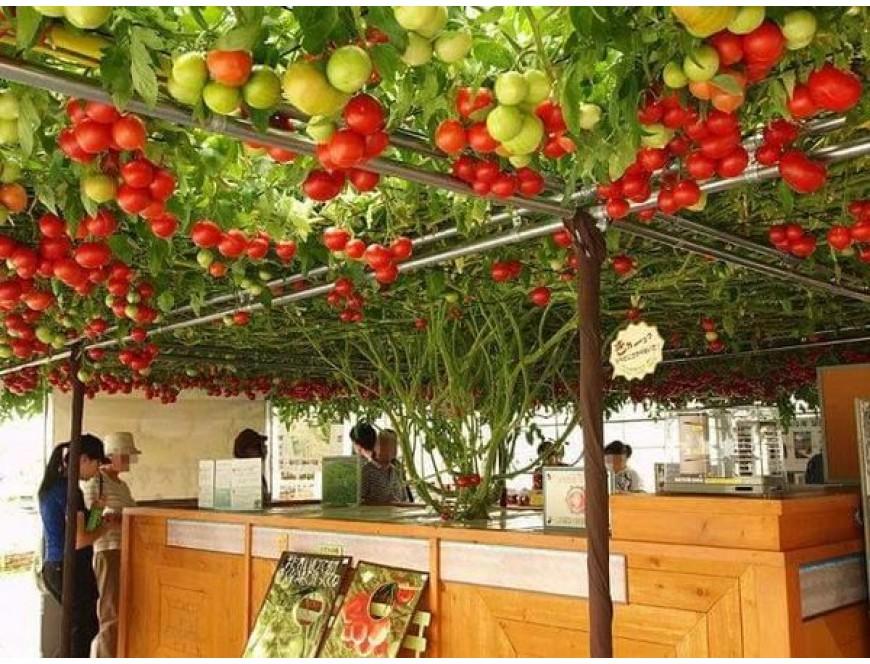 kỹ thuật trồng cà chua thủy canh