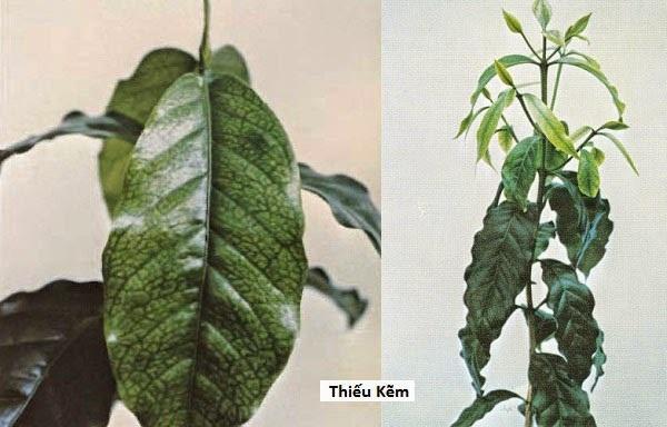 cây trồng thủy canh bị vàng lá