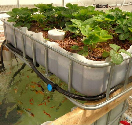 mô hình trồng rau thủy canh aquaponics