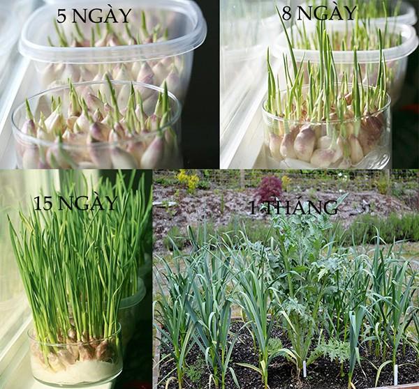 trồng tỏi tây thủy canh