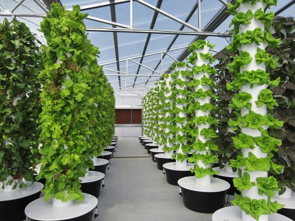 trồng rau khí canh